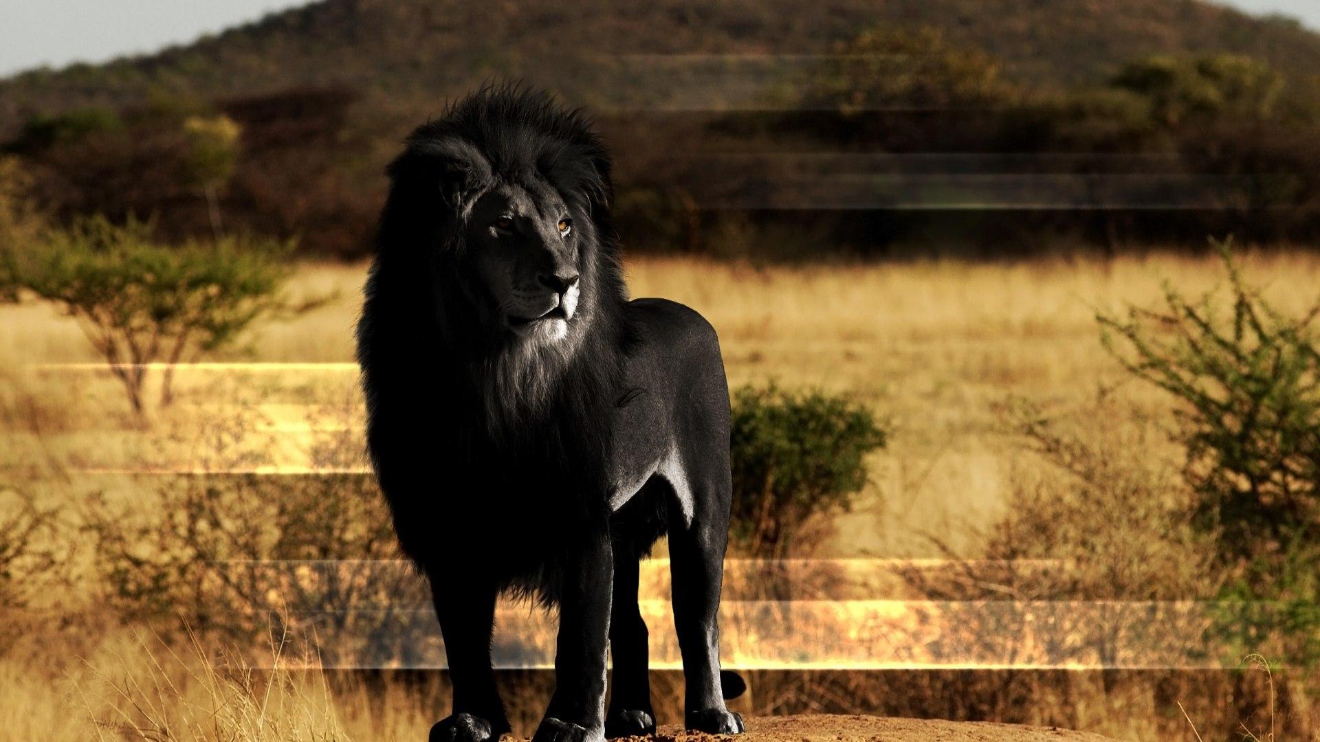 Фото концепция черного тигра по родословной прямой восходящей линии